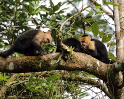 Panamanian-White-faced-Capuchins-Costa-Rica