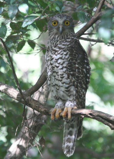 Powerful-Owl-Australia