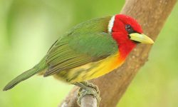 Red-headed-Barbet-Costa-Rica