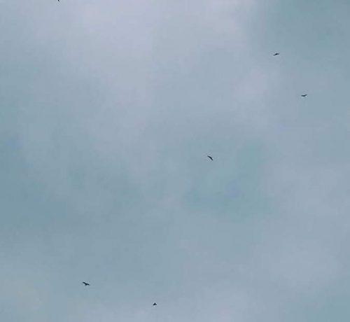 Red-Kites-Dorset