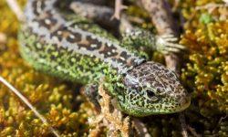 Sand-Lizard-Devon