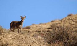 Spanish-Ibex-Spain