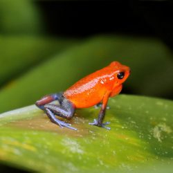 Strawberry-Poison-Dart-Frog-Costa-Rica