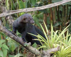 Tayra-Costa-Rica