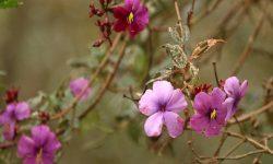Tibouchina-lepidota-Ecuador