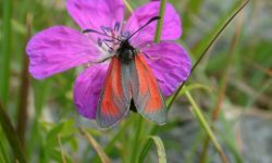 Transparent-Burnet-The-Burren