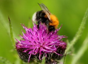 Tree-Bumblebee-Bombus-hypnorum
