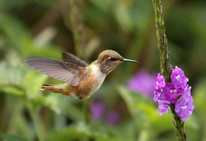 Volcano-Hummingbird-Costa-Rica