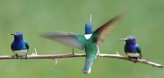 White-necked-Jacobins-Costa-Rica
