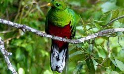 White-tipped-Quetzal-Colombia