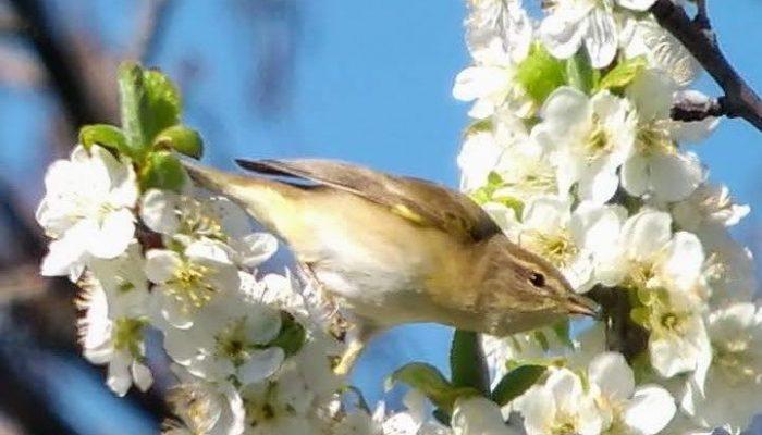 Willow-Warbler-Dorset